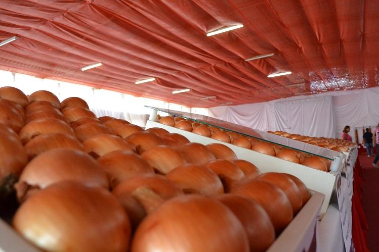 Festa Nacional da Cebola: organização reformula exposição da hortaliça